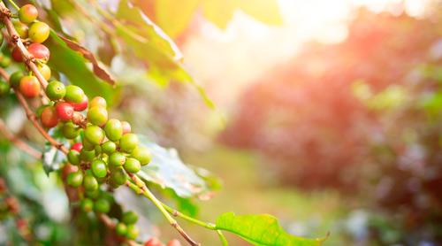 Кофе в зернах от Меркато как растет и где